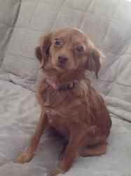 Adopt Katie On Rescues Adoptable Dachshund Dog Pomeranian Mix