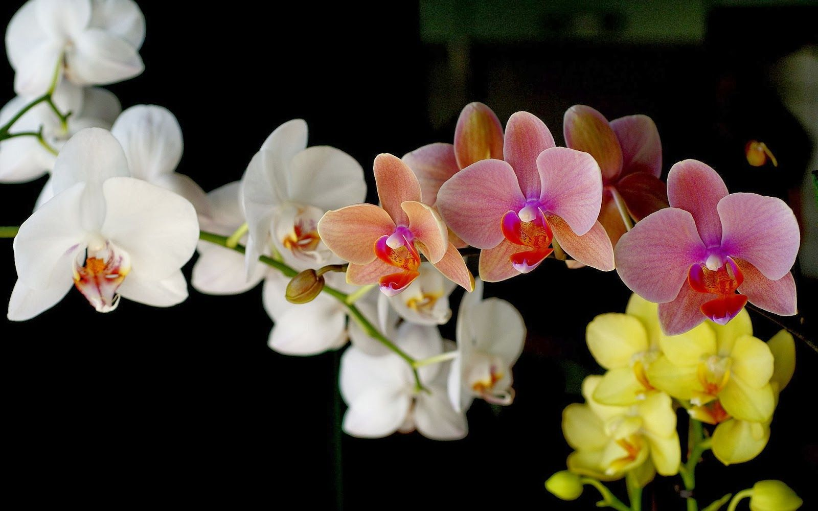 Beautiful Colour Orchid Wallpapers Wallpaper In Hd In 2020 Orchid Wallpaper Orchid Flower Pink Orchids