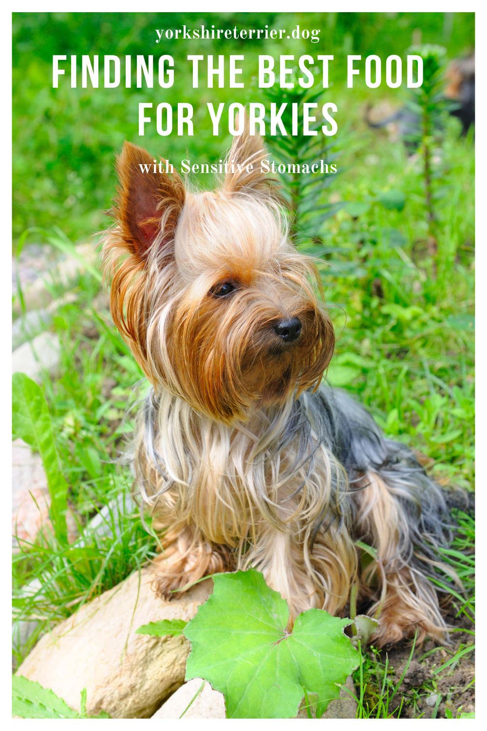 Finding The Best Food For Yorkies With Sensitive Stomachs Sensitive Stomach Yorkie Best Dog Food