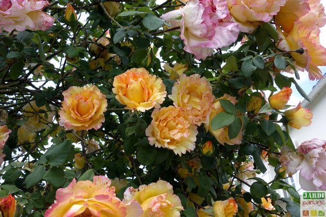 3 gestes pour des rosiers g n reux le jardin se partage. Black Bedroom Furniture Sets. Home Design Ideas
