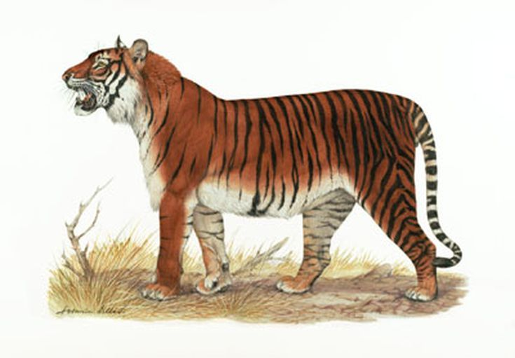 The Bali Tiger Facts And Figures Tiger Facts Extinct