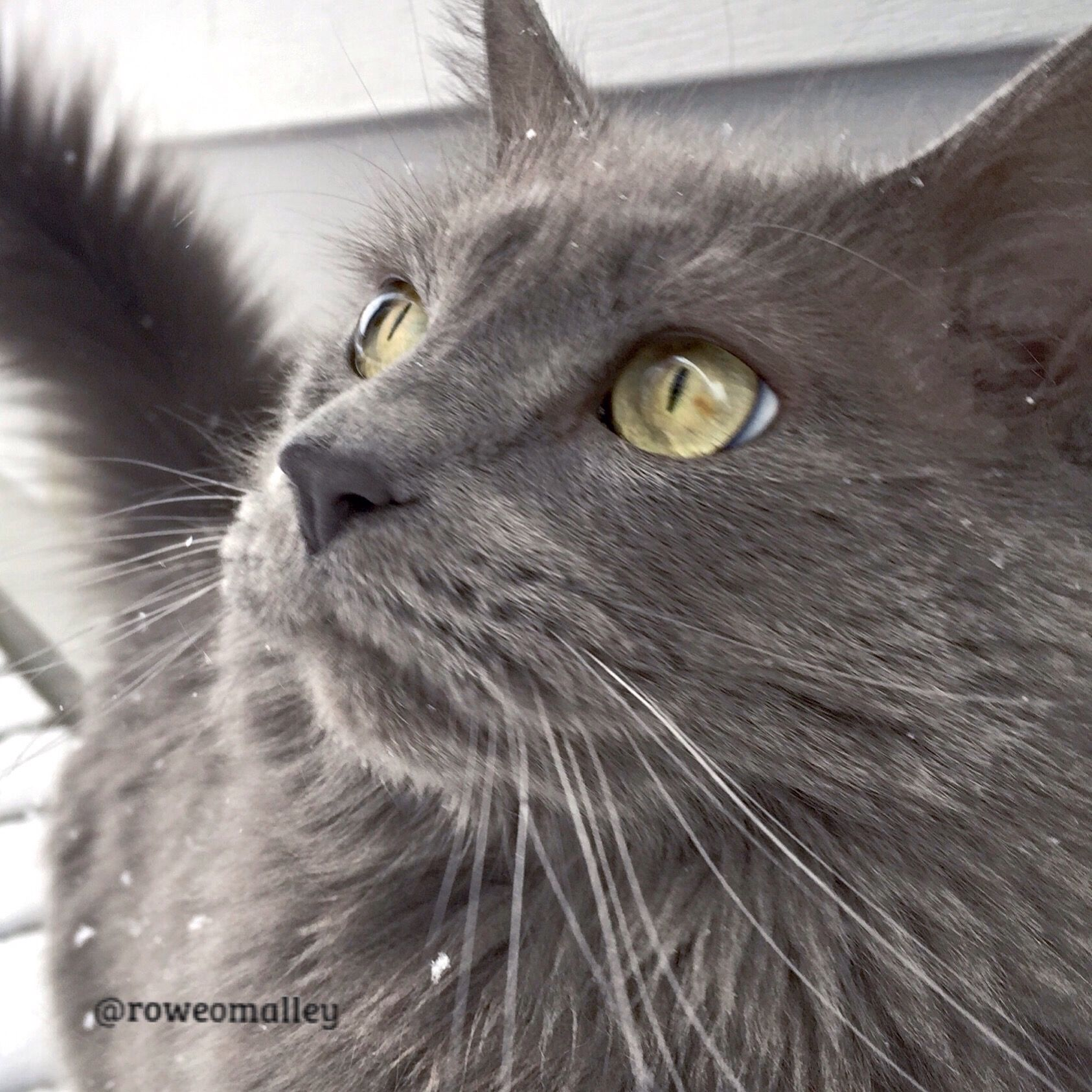 Handsome Waldo nebelung blue cat Rowekitties mainecats rescue cat