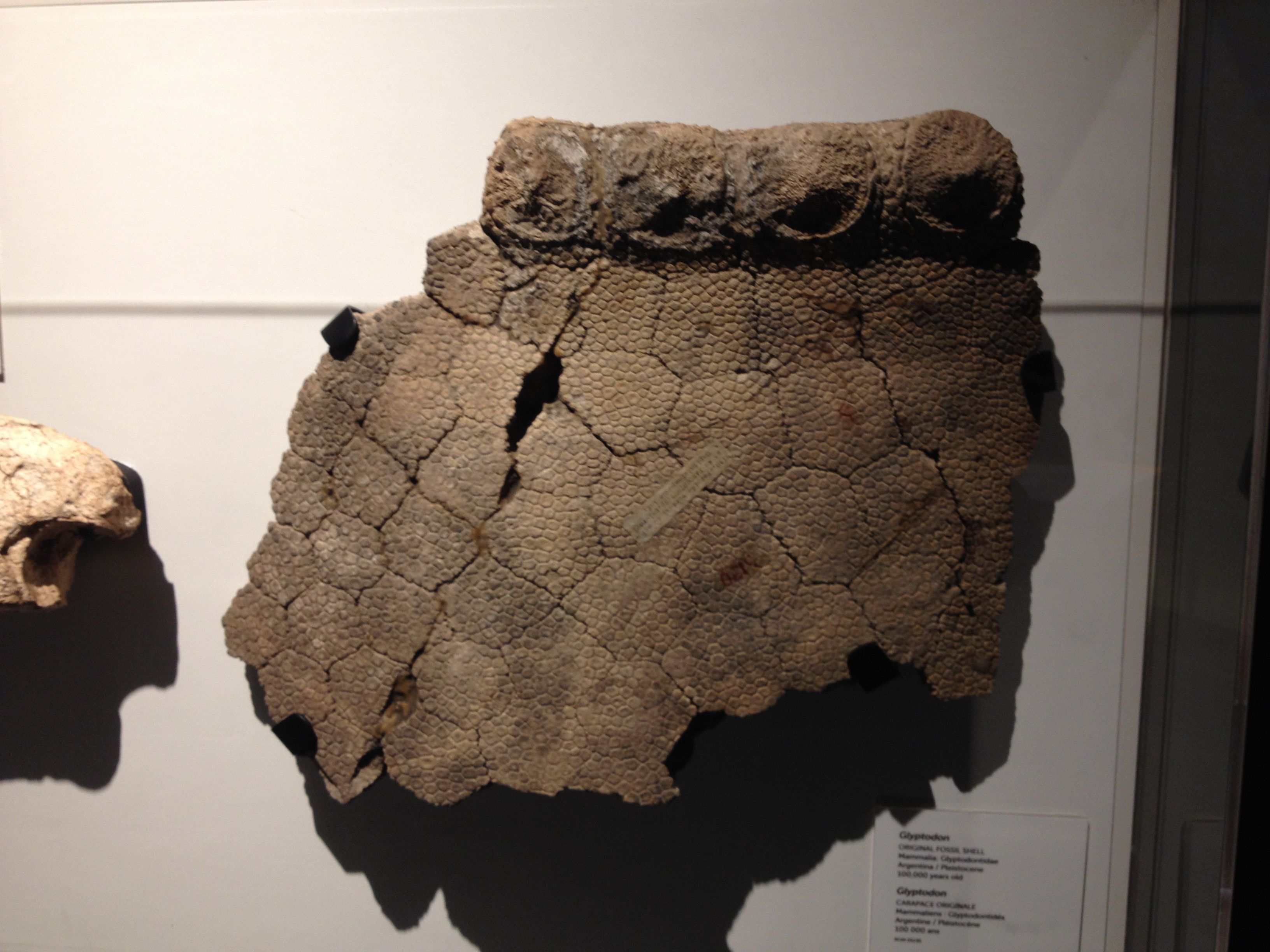 Glyptodont Fossil Shell Ultimate Dinosaurs Exhibit