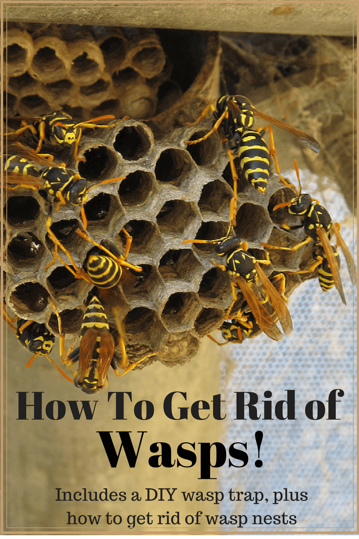 How To Get Rid Of Wasps: Includes A DIY Wasp Trap! | pest control ...