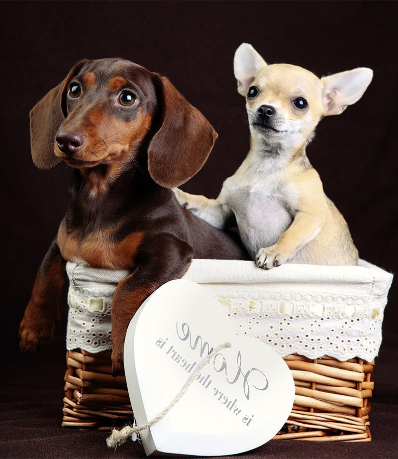 Chiweenie Your Tiny Chihuahua Dachshund Mix Dog breeds