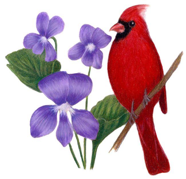 Illinois State Bird And Flower Cardinal Cardinalis