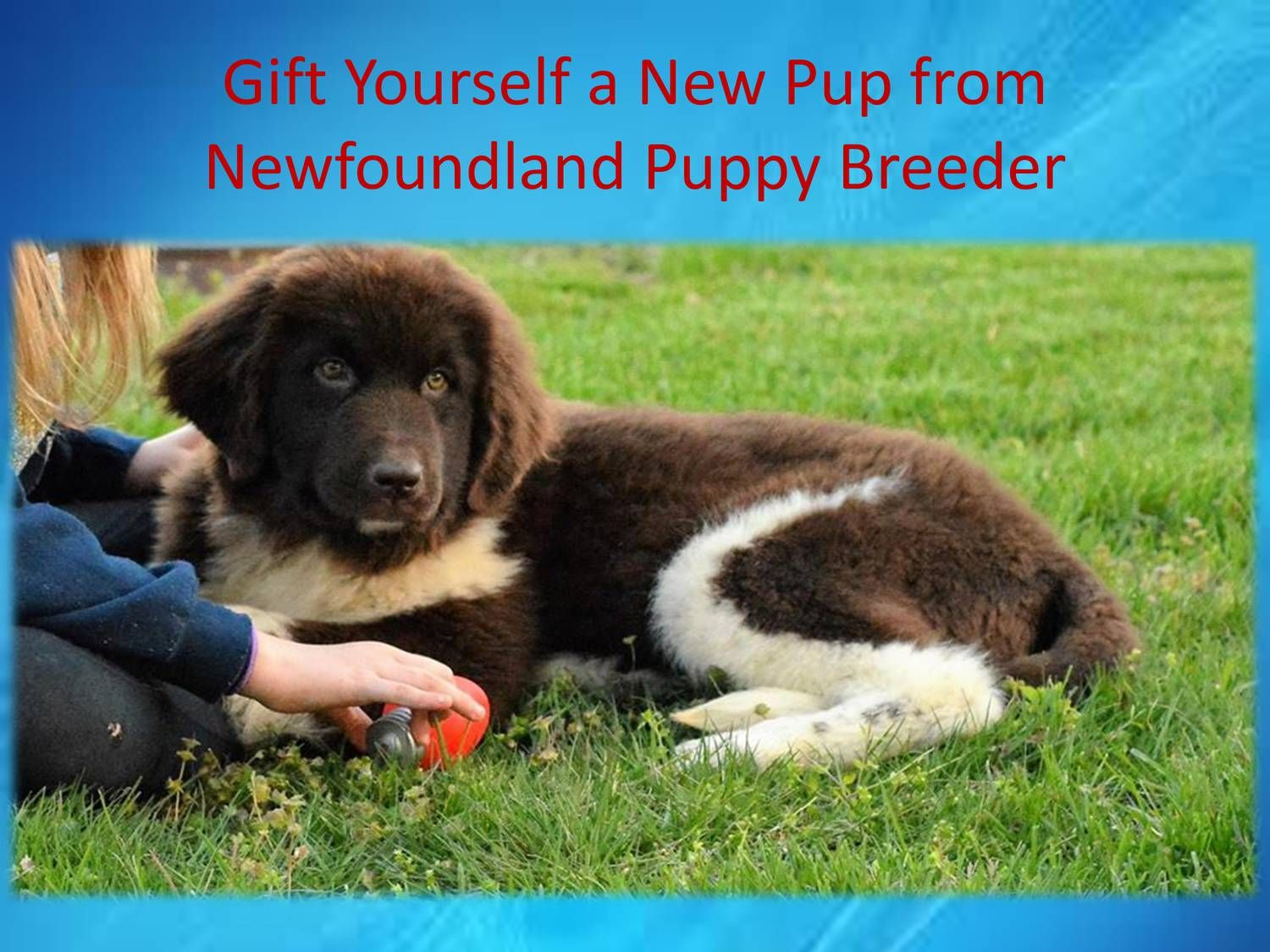 Gift Yourself A New Pup From Newfoundland Puppy Breeder Pptx Newfoundland Puppies Puppies Dog Breeder