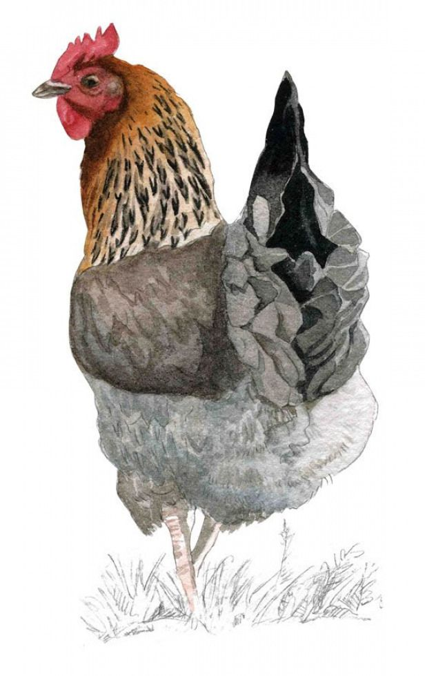 La Marans Rooster Painting Animal Paintings Chicken Painting