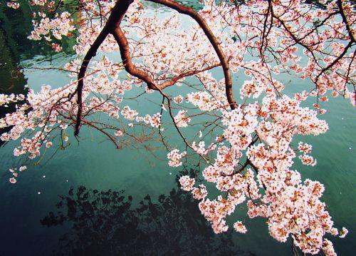 Cherry Blossoms 3 Aquarius Age Of Aquarius Aquarius Facts