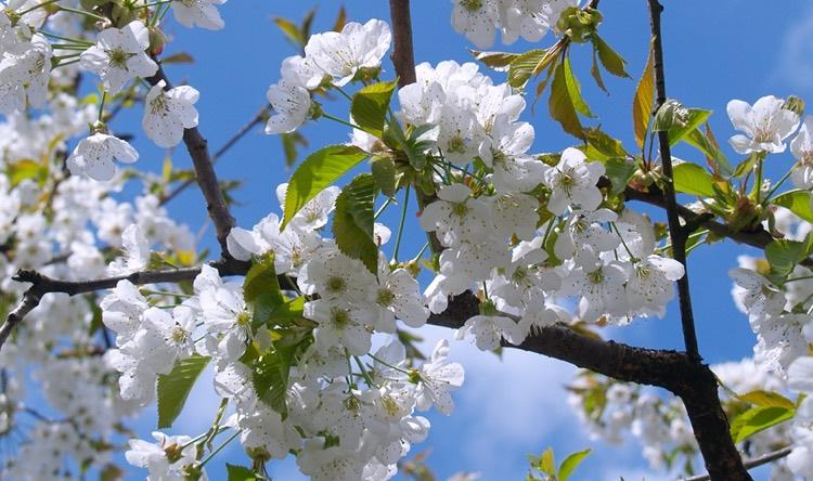 Cherry Tree Portland Nursery Cherry Tree Cherry Blossom Flora Flowers