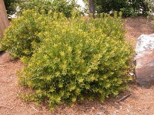 Morella Pumila Dwarf Wax Myrtle 2 4 Tall Shrub Resembles A More Compact Version Of The Common Wax Myrtle It Was Plants Lawn And Garden Florida Landscaping