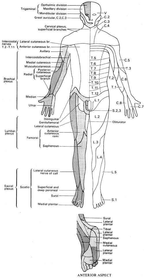 Neurological Examination of the Upper Limbs Physical therapy - muscle chart template