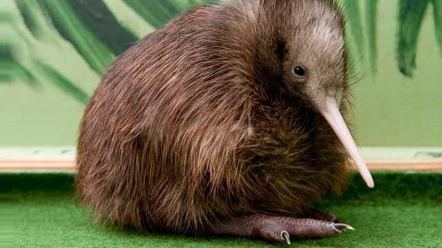 kiwi vogel kaufen  GoogleSuche  animals  Pinterest  Vogel