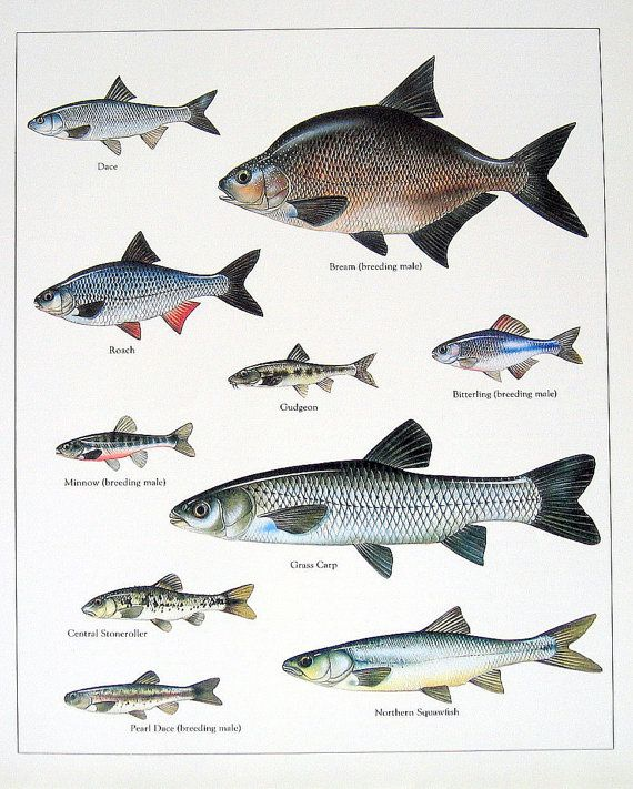 Dace, Bream, Roach, Gudgeon Vintage 1984 Fish Book Plate. Rescued from a much loved and read reference book on animals is this vintage 1984 book plate featuring the following fish: Dace, Bream, Roach, Gudgeon, etc. Colors are crisp and vivid, the image details are delightful!