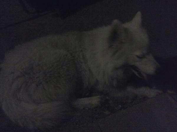 Wichita Ks Founddog 10 01 13 Large White Dog With Pink Collar