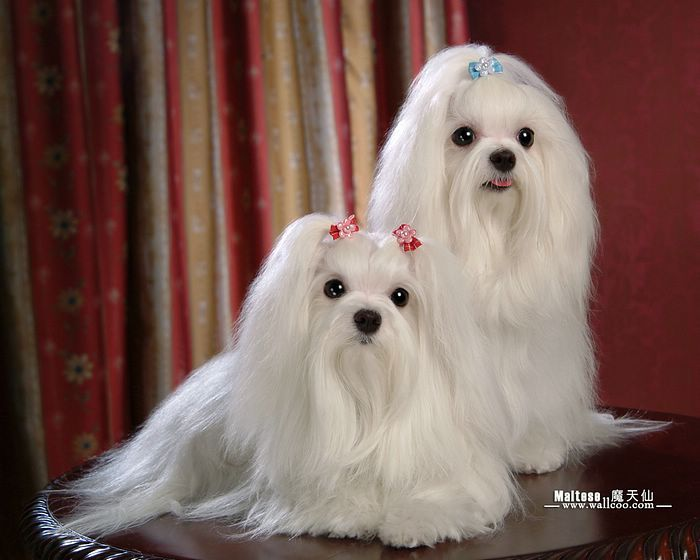 My Dogs Maltese Puppies Wallpapers White Maltese Puppy With