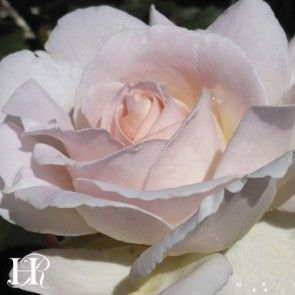 """Cameo Perfume™️ rose. Robert Harkness describes this this continual bloomer soft pink rose with 5"""" blooms as """"exquisitely formed and blessed with truly marvelous fragrance.The loosely formed blooms are rounded. Rather less formal than some. A pleasure both in the garden and in the home""""."""