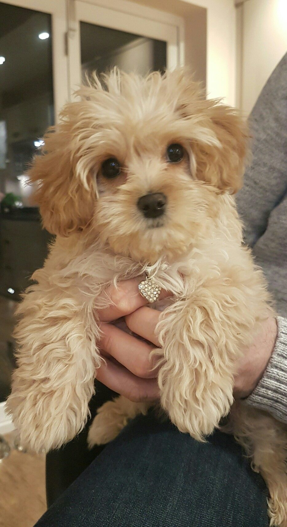 Available Cavapoo Puppies Nc