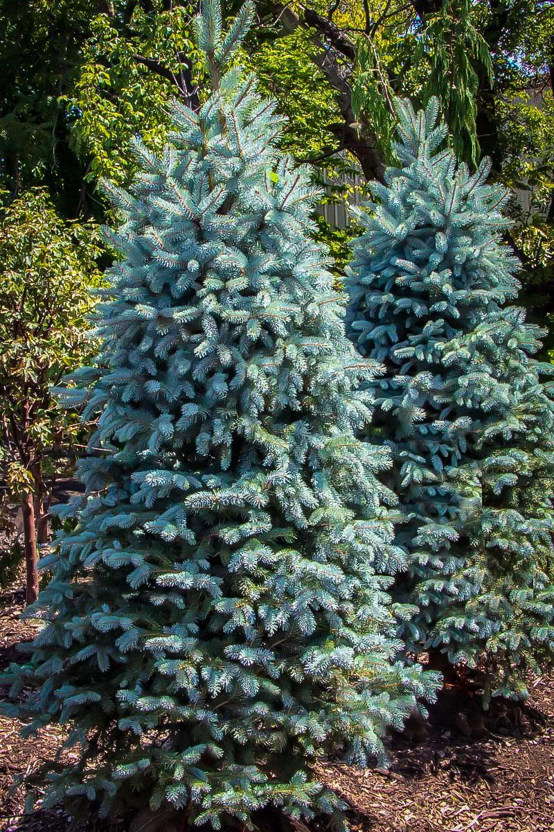 Baby blue eyes spruce blue spruce tree specimen trees
