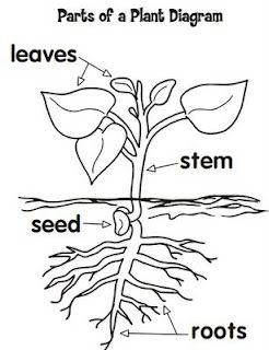 parts of a flower diagram 3 phase ac wiring bean plant data teacher s lounge science classroom preschool
