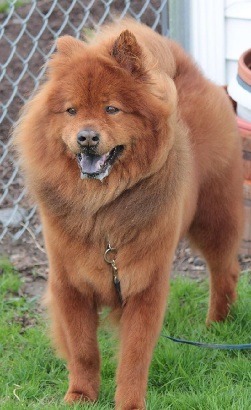 Adopt Bear On Buy Puppies Beautiful Dogs Adoption