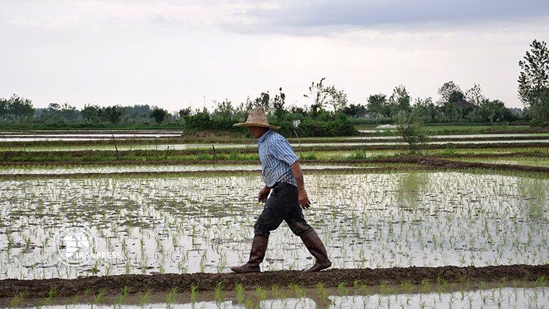 Photo: Rice-seedlings in Gilan's city of paddies