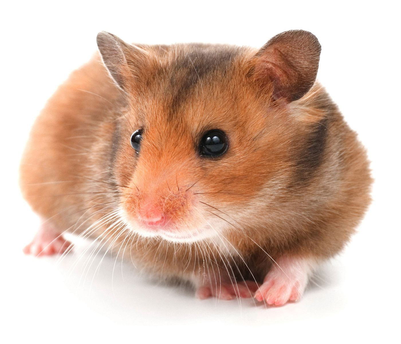 5 types of most popular hamster breeds | chinese hamster, hamster