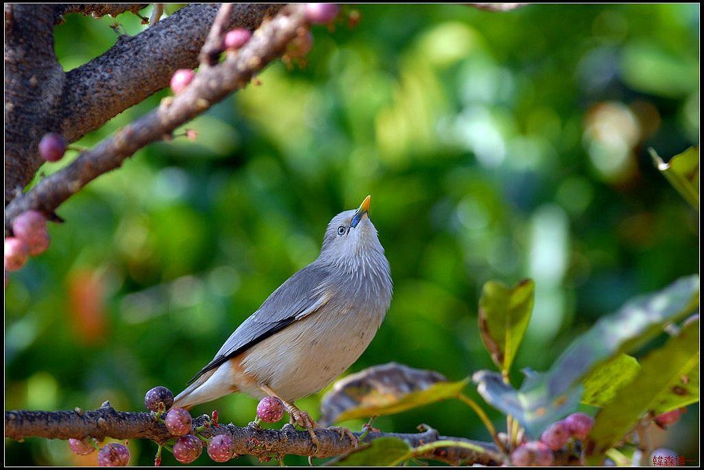 栗尾椋鳥(灰頭椋鳥)   Animals, Bird