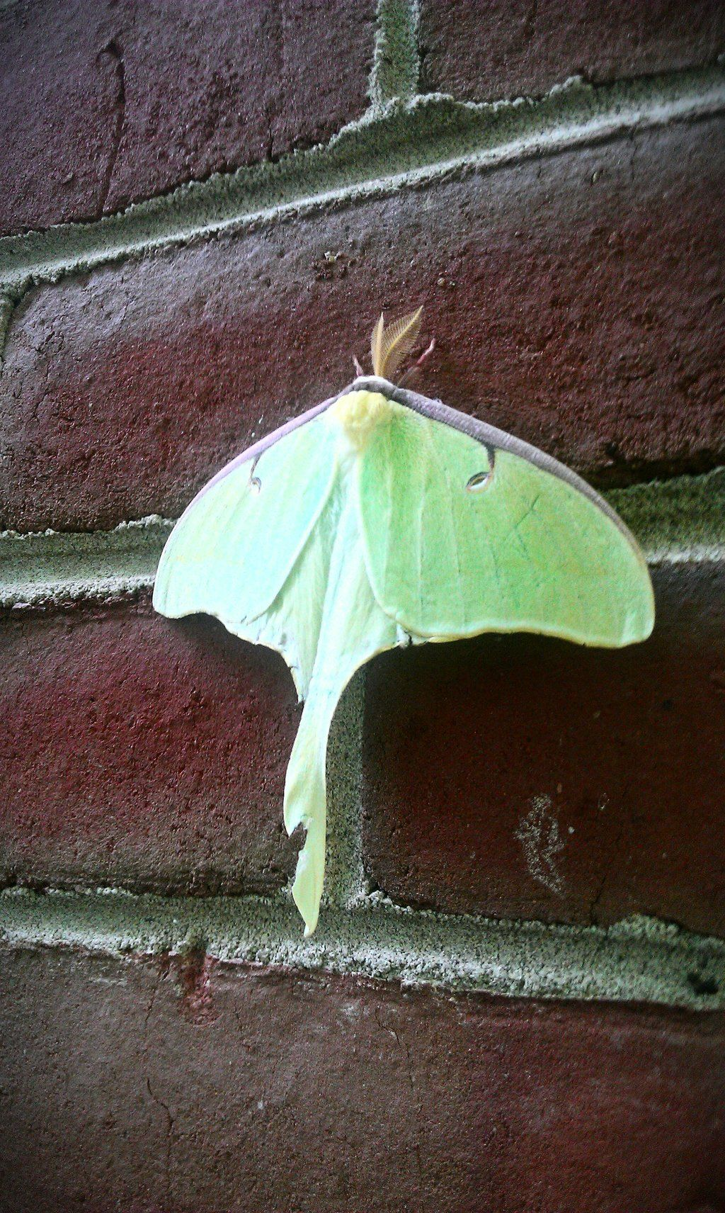 Luna On Bricks Actias Luna They Love My House Maybe That S Why