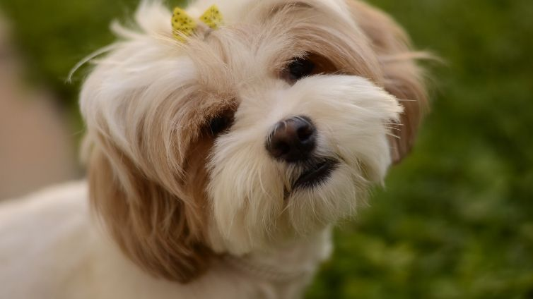 15 Amazing Facts About Maltese Shih Tzu Barking Royalty In 2020 Pets Dogs Breeds Keeshond Dog Top Dog Breeds