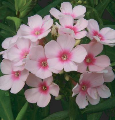 Kuvahaun tulos haulle bright-eye plant