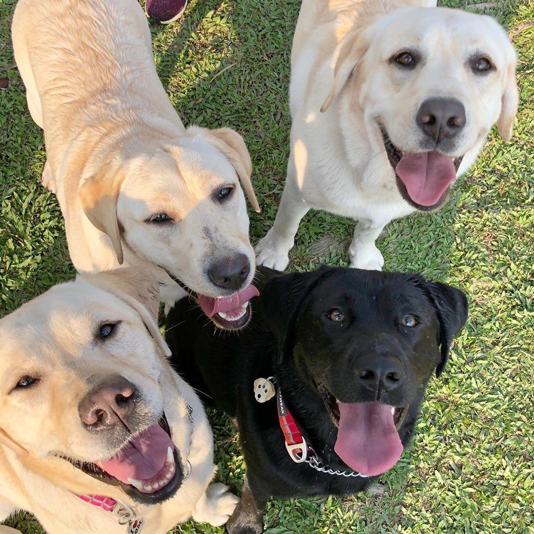 If You Love Labradors Visit Our Blog Labrador Labradorretriever Labradorcentral Retriever Labradors Retrievers Af Labrador Retriever Labrador Goofy Dog