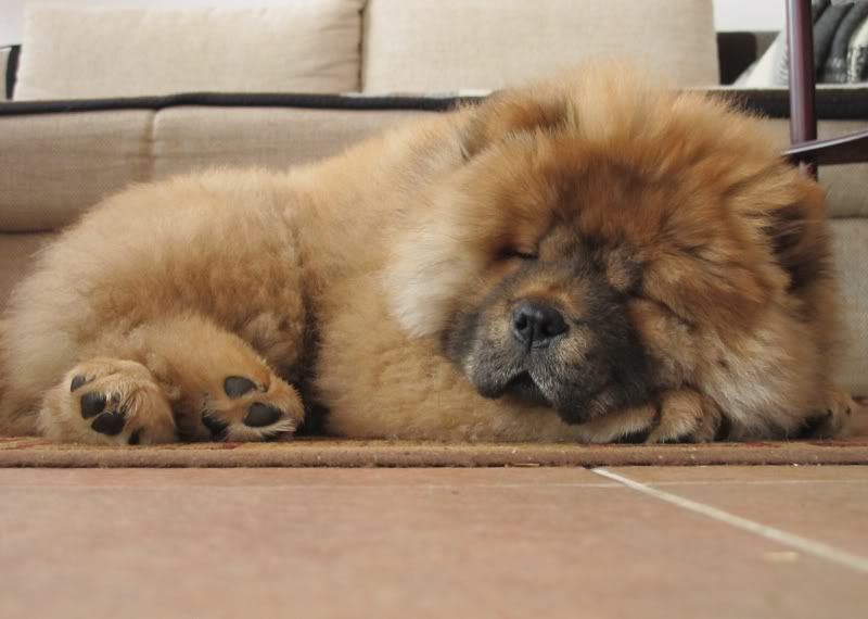 Sleepy Chow With Images Chow Chow Dog Puppy