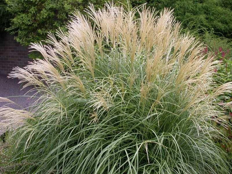 Miscanthus sinensis adagio 48 thin silver foliage for Names of ornamental grasses