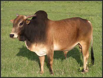 Image result for zebu