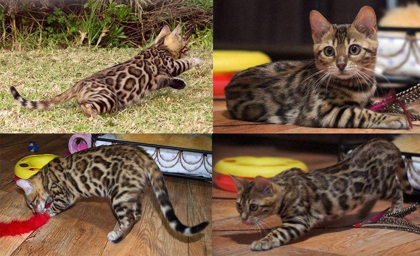 Bengal Cats Australia Bengals Kittens Bengal Kitten Kitten Breeds Bengal Cat