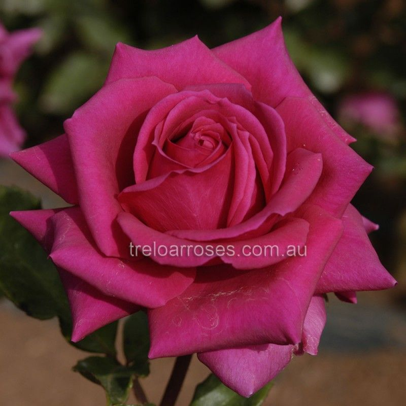 Treloar Roses Have Been Supplying Quality Bare Root Rose Bushes Plants Australia Wide For More Than 50 Years Our Nursery Has The Largest Range Of