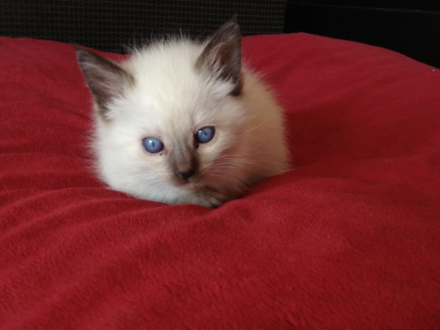 Chanel 6 Week Old Seal Point Siamese Kitten Crazy Cats Cute Animals Siamese Kittens