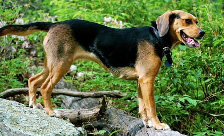 Kat The Beagle Mix Found While Searching Beagle German Shepherd