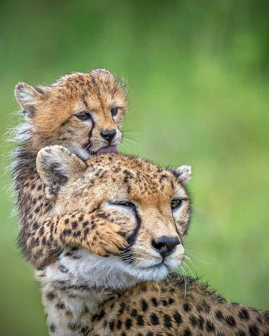 5,260 vind-ik-leuks, 23 reacties - Planet Earth 🌎 (@discovery.hd) op Instagram: '. Photo by @saedgrafi… | Cheetah photos, Animals beautiful, Most beautiful animals