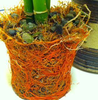 When How To Repot A Lucky Bamboo