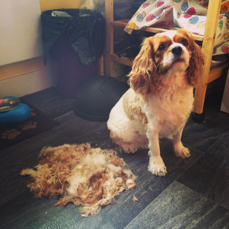Spaniel Hair Problems Pampered Pooch Cavalier King Charles Spaniel King Charles