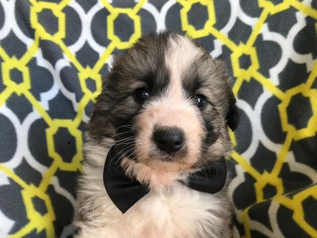 Great Pyrenees Sheepdog Mix Mix puppy for sale in