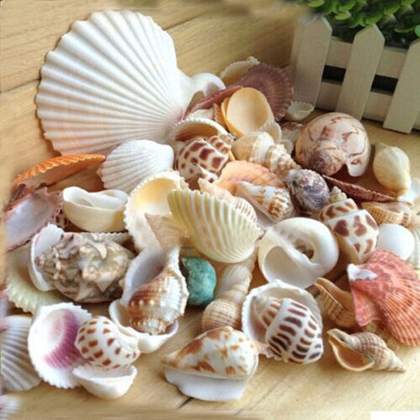Ocean sea shell lot of 36 philipine cockel shells craft aquarium nautical /</>/<