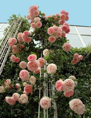 Rp Pierre De Ronsard Eden Rose Climbing Rose Bush