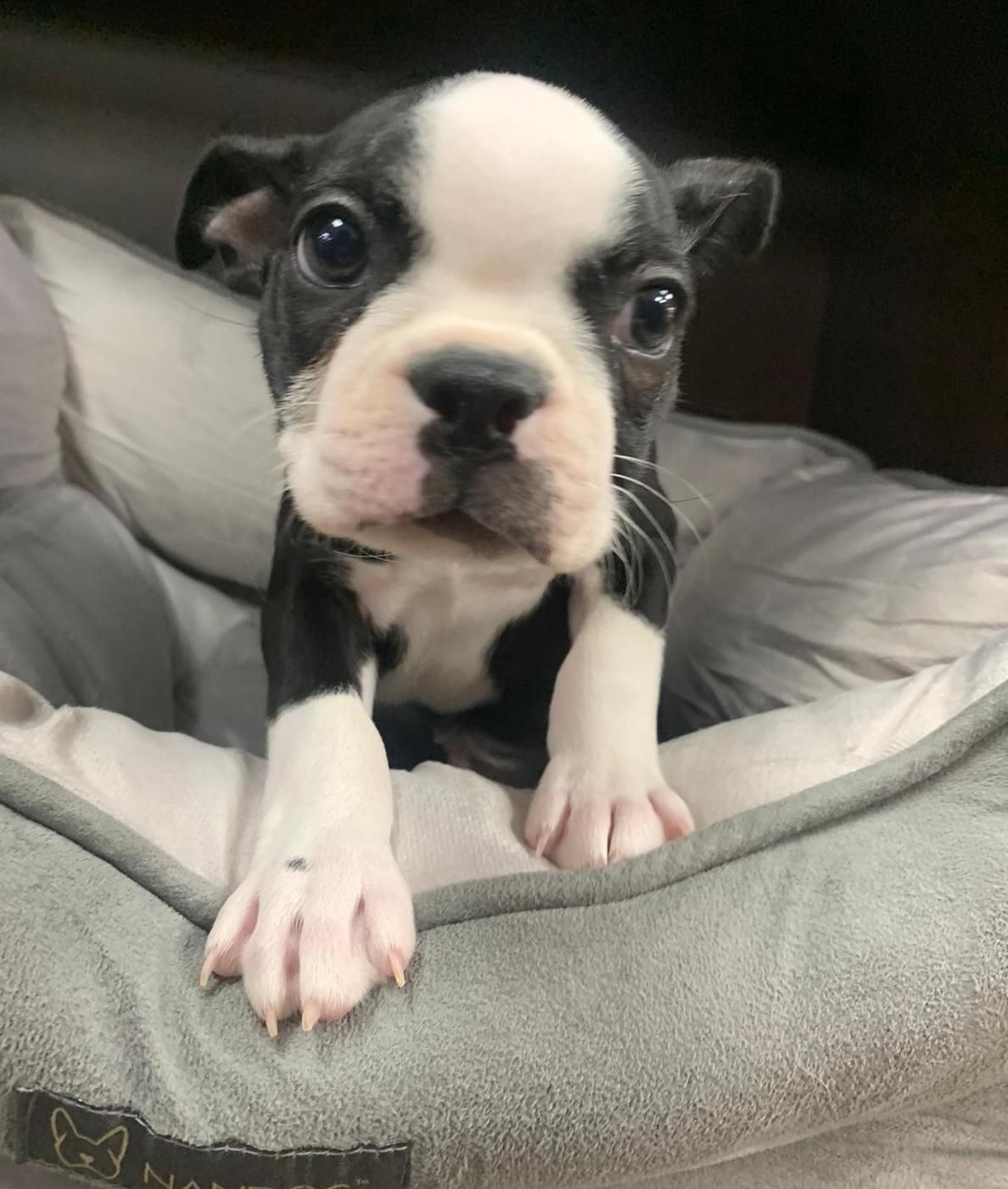 Puppies For Sale Petland Florida in 2020 Puppies