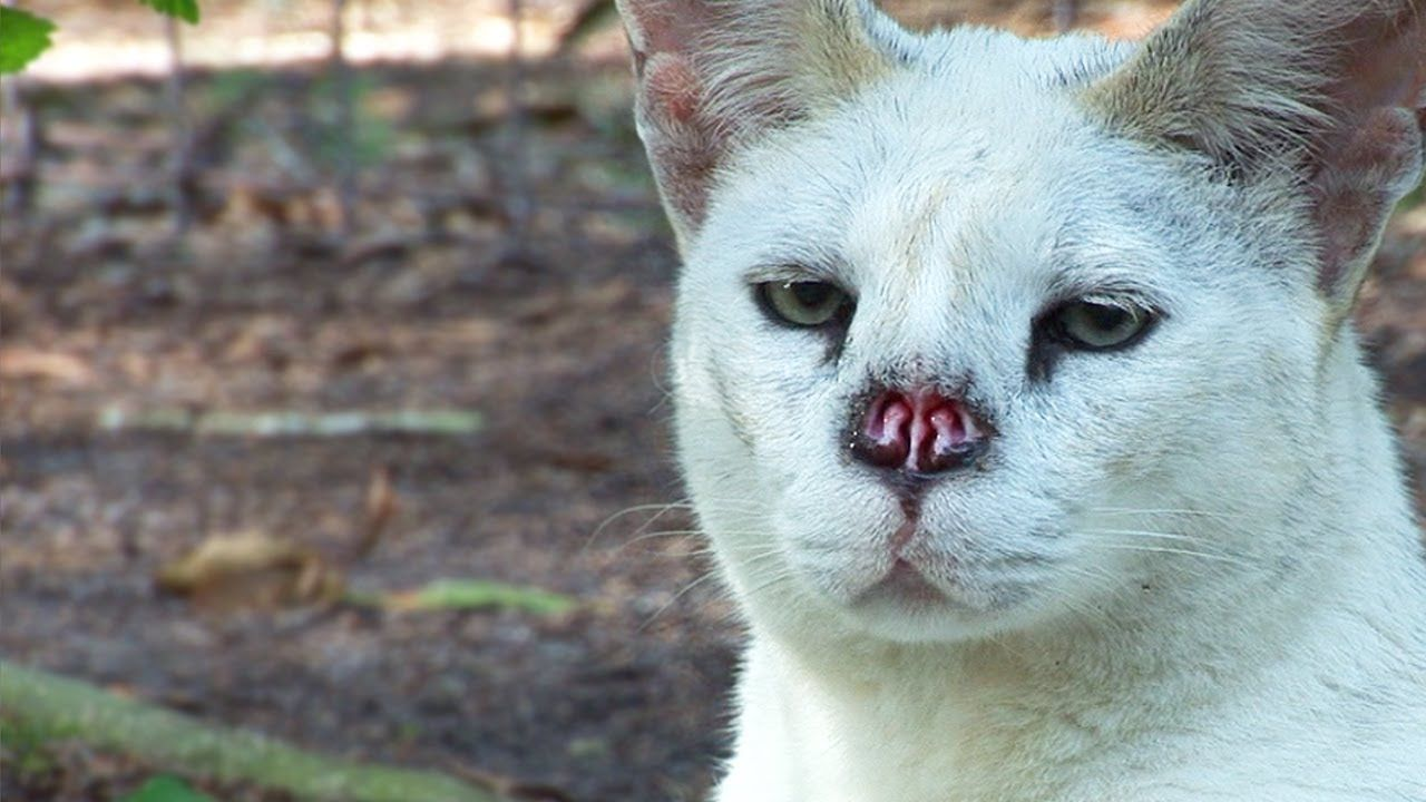 White Serval Nose Surgery Animals Pinterest