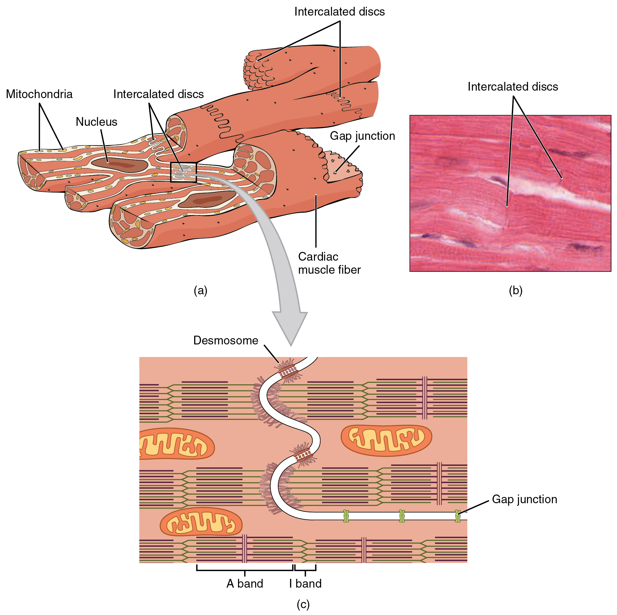 openstax anatomy and physiology ch19 the cardiovascular skin cell diagram cardiovascular cell diagram #4