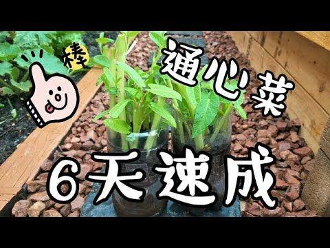 6天速成种植通心菜-Grow Water Spinach in Just 6 days with selfwatering planter - YouTube