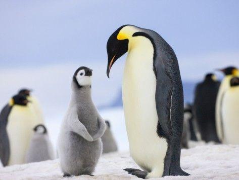 Social bond between parent and child of Emperor penguins ...